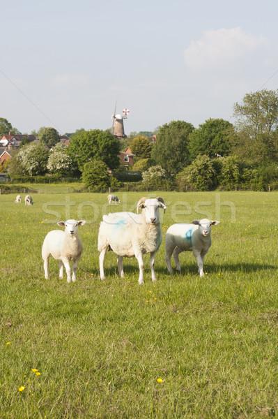 Trois moutons deux herbeux anglais campagne Photo stock © russwitherington
