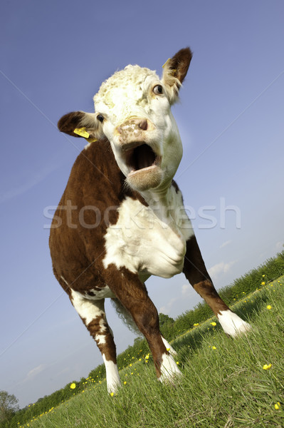 Cow with mouth open Stock photo © russwitherington