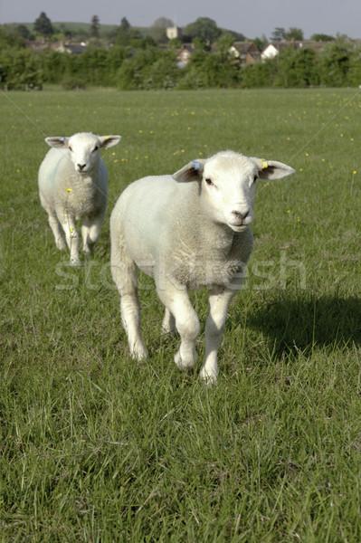 Deux moutons courir caméra herbeux Photo stock © russwitherington
