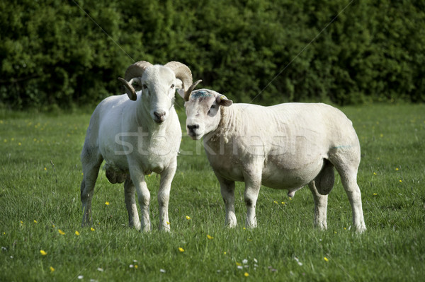 Two Rams Stock photo © russwitherington