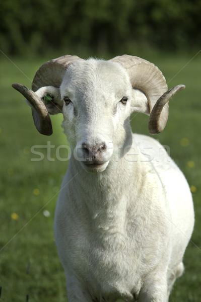 Ram Stock photo © russwitherington