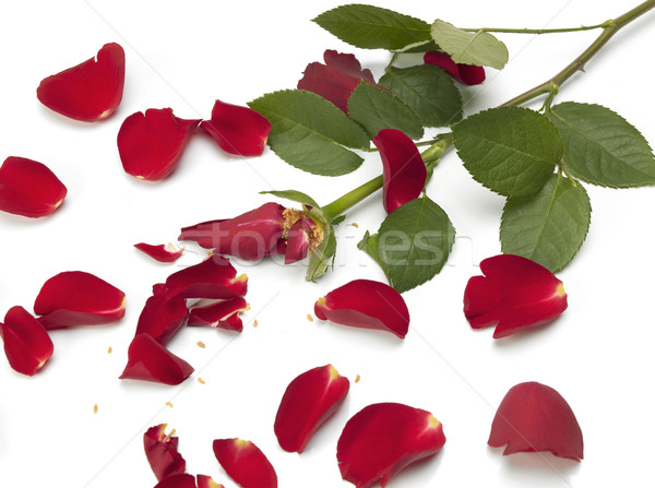Brisé rose Rose Red pétales blanche fleur Photo stock © russwitherington