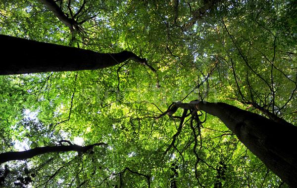 Arbre bois arbres vert Photo stock © russwitherington