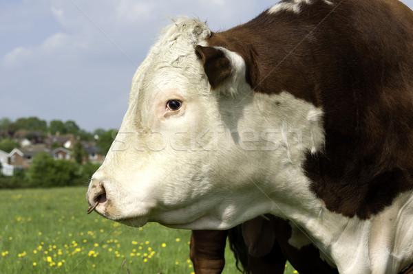 Bull profile Stock photo © russwitherington
