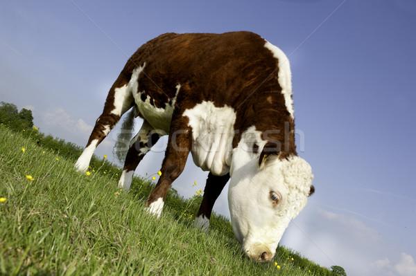 Vache Homme domaine herbe animaux Photo stock © russwitherington