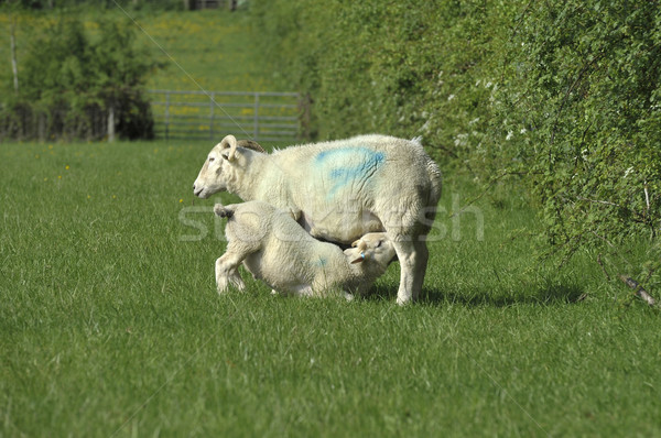 Sheep and lamd Stock photo © russwitherington