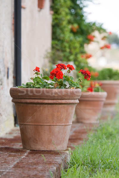 Geraniums in a terracotta pot Stock photo © RuthBlack