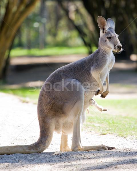 Female red kangaroo Stock photo © RuthBlack