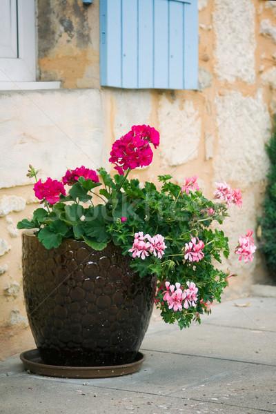 Geraniums Stock photo © RuthBlack