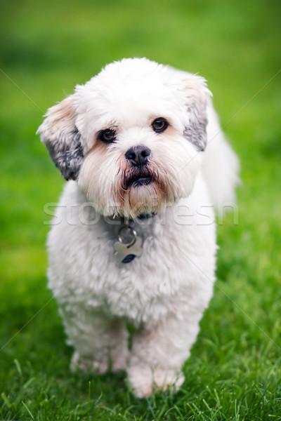 трава саду лет собаки белый животного Сток-фото © RuthBlack