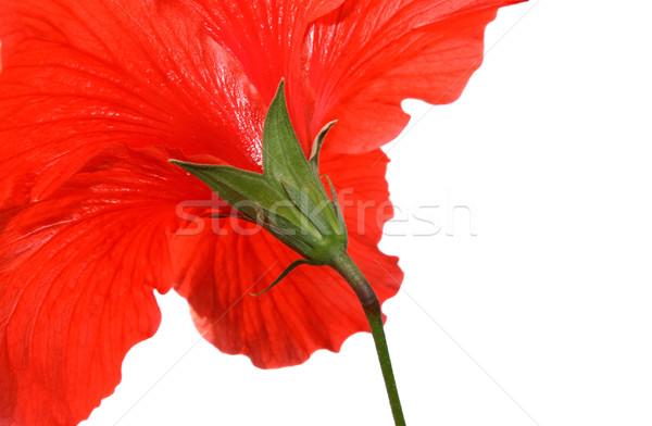 Сток-фото: гибискуса · цветок · красивой · красный · цветы · весны