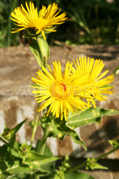 żółte kwiaty łące piękna lata zielone Daisy Zdjęcia stock © ruzanna