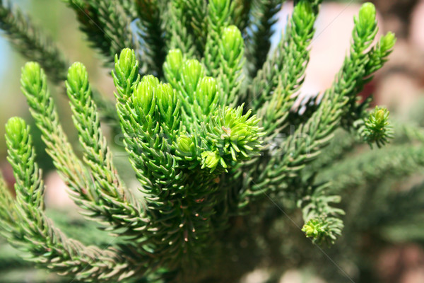 Tűlevelű faág absztrakt természet szépség park Stock fotó © ruzanna