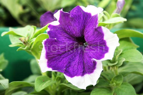 Geranium flower Stock photo © ruzanna