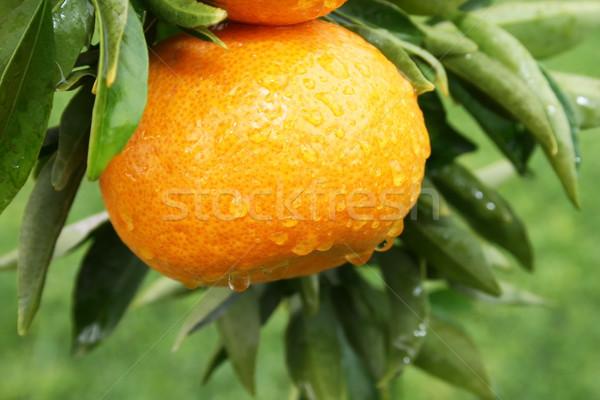 Stockfoto: Mandarijn · rijp · regen · druppels · boom · tuin