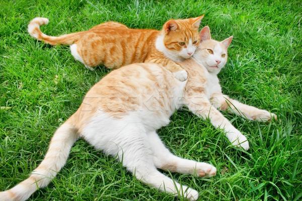 Hagging cats Stock photo © ruzanna
