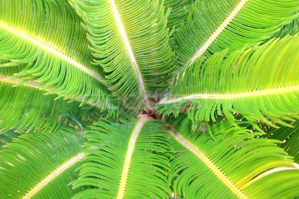 Feuilles de palmier printemps fond été Palm vert Photo stock © ruzanna