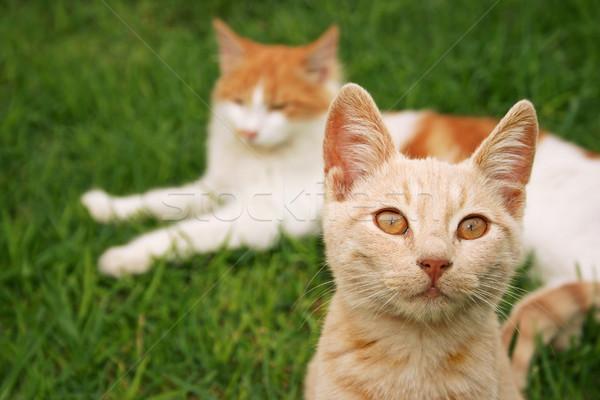 Rosso gatti erba verde verde giovani bianco Foto d'archivio © ruzanna