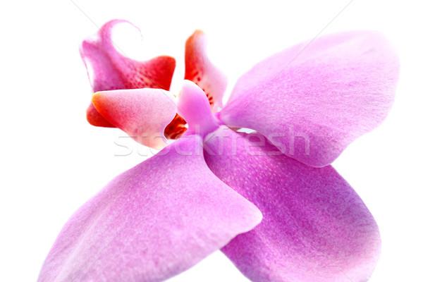 Orchid Stock photo © ruzanna