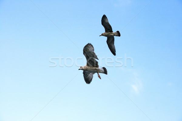 Sirályok repülés kék ég égbolt szépség madár Stock fotó © ruzanna