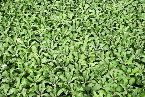 Plantage groene boerderij kleur plant landbouw Stockfoto © ruzanna
