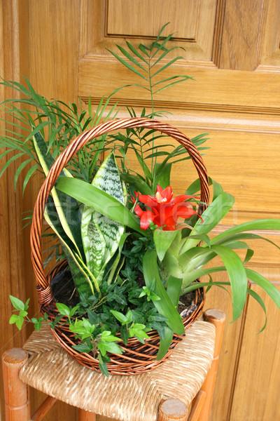 Flor vermelho flor tropical cesta primavera natureza Foto stock © ruzanna