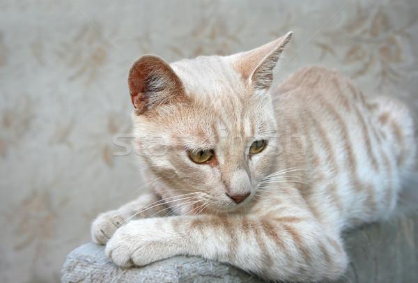 Tawny cat Stock photo © ruzanna