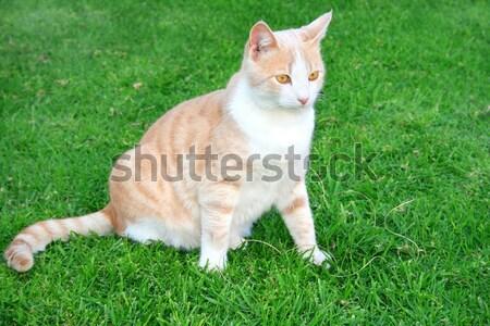 Macskák zöld fű szeretet fű pihen fiatal Stock fotó © ruzanna