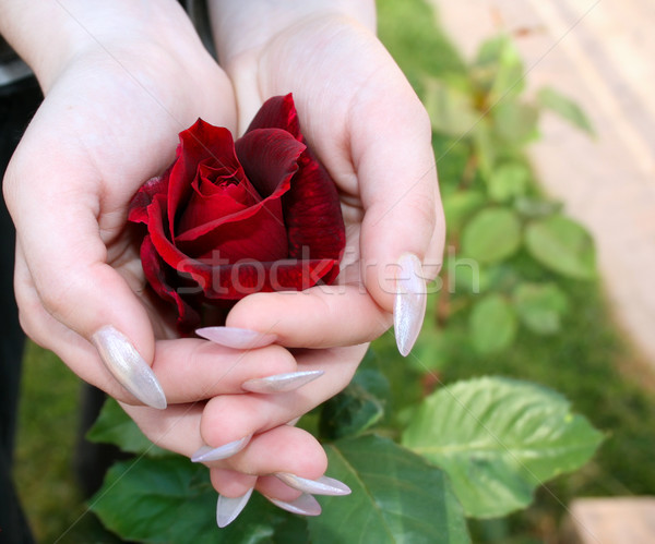 Stock photo: Red rose in hands