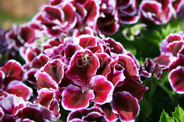 Geranium flowers Stock photo © ruzanna