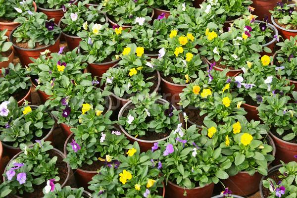 Flowers in pots Stock photo © ruzanna