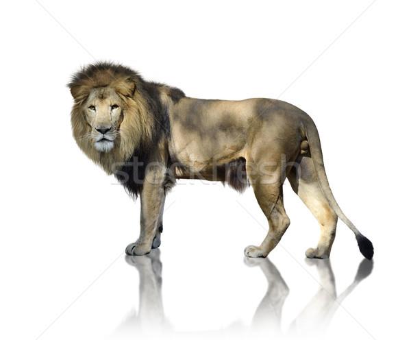 Lion blanche nature permanent réflexion Photo stock © saddako2