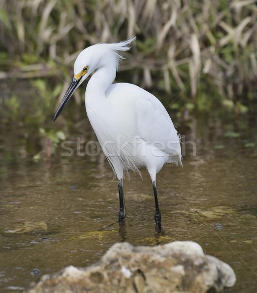 Snowy Egret (Egretta thula) Stock photo © saddako2