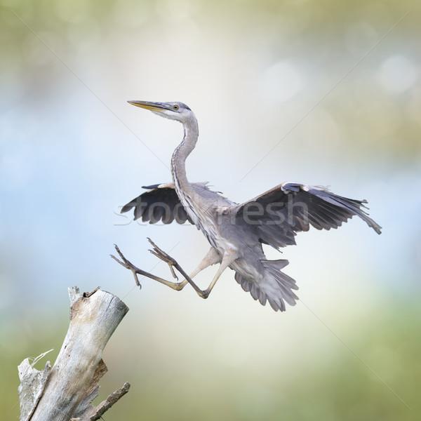 синий цапля посадка природы птица Сток-фото © saddako2