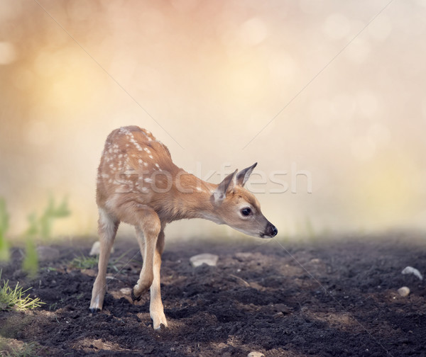 White-tailed deer fawn Stock photo © saddako2