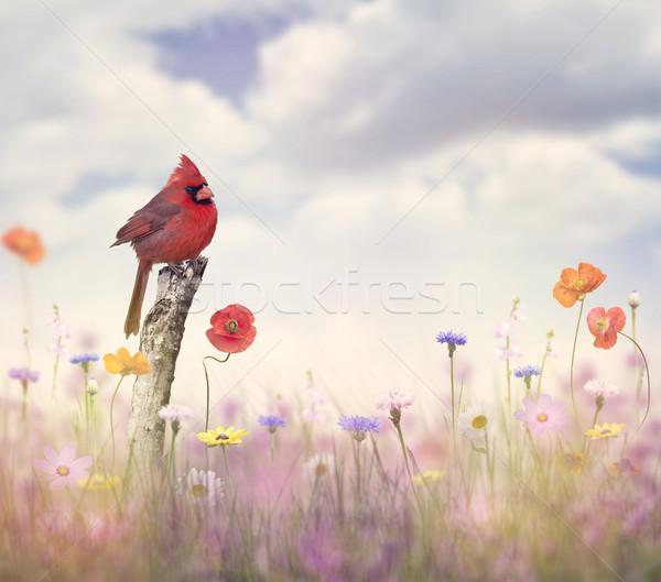 Cardinal bird in a flower field Stock photo © saddako2