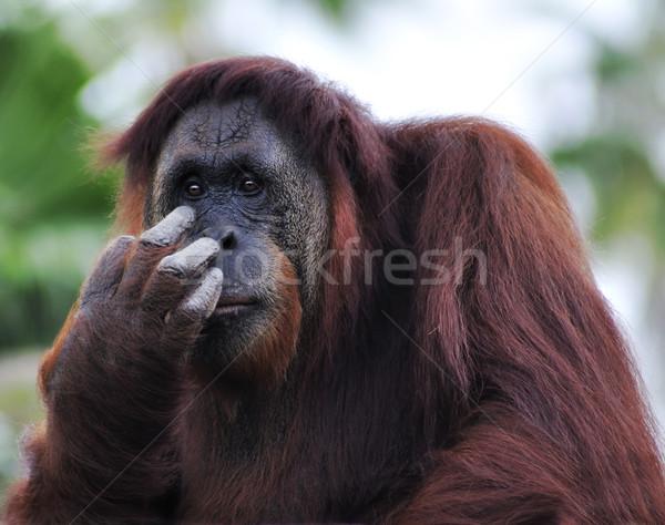 Orangutan portre el yüz doğa Stok fotoğraf © saddako2