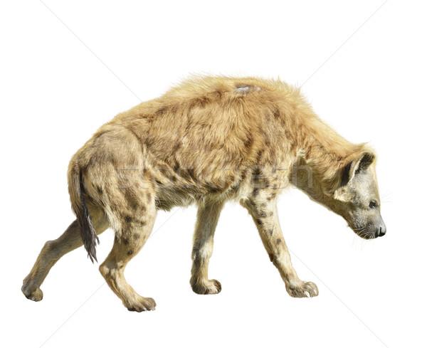 Hyäne isoliert weiß Natur Tier Profil Stock foto © saddako2