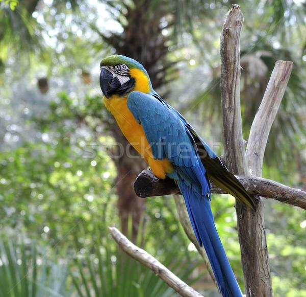 Macaw Parrot Stock photo © saddako2