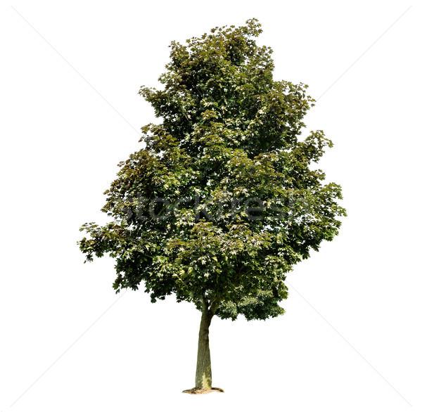 maple tree Stock photo © saddako2