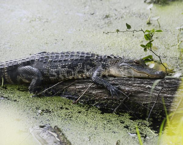 Stock fotó: Amerikai · aligátor · pihen · fű · fa · természet