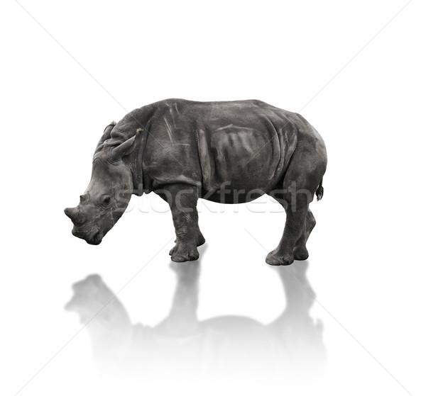 Young White Rhinoceros  Stock photo © saddako2