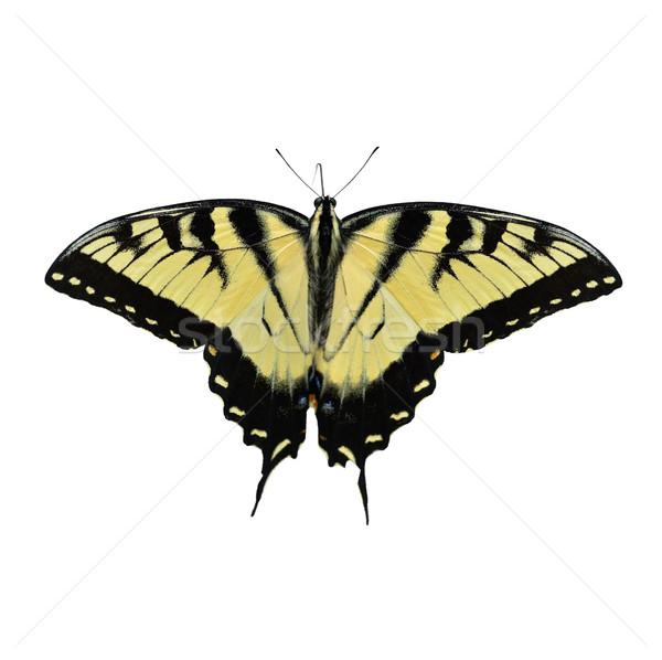 Zdjęcia stock: Wschodniej · Tygrys · Motyl · odizolowany · biały