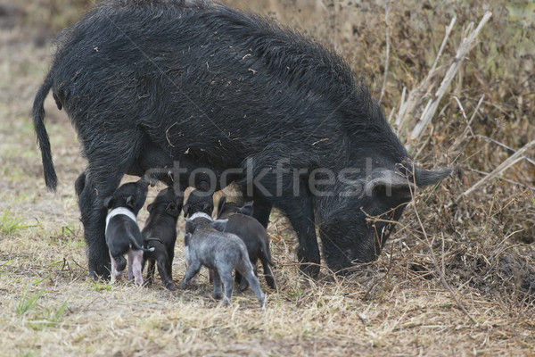 Wild hog with cute piglets Stock photo © saddako2
