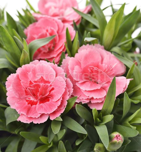Сток-фото: розовый · выстрел · цветок · зеленый · завода