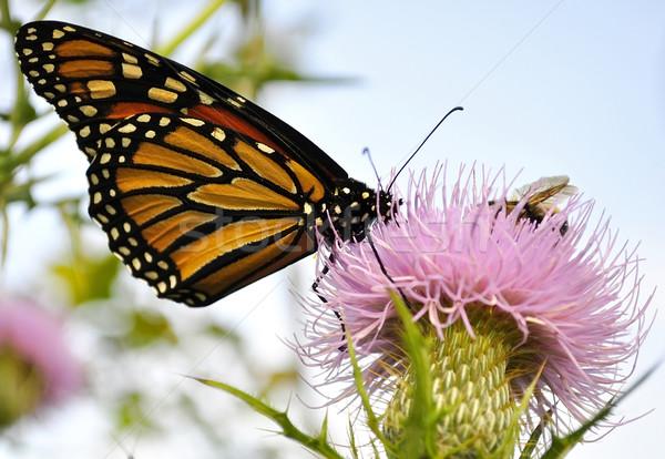 Monarch Butterfly Stock photo © saddako2