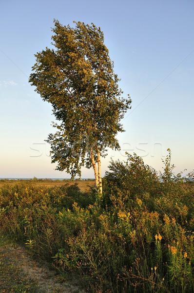 Nyírfa fa természet tájkép szépség mező Stock fotó © saddako2
