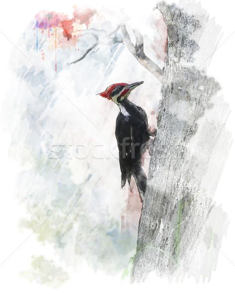 Watercolor Image Of  Pileated Woodpecker (Dryocopus pileatus)  Stock photo © saddako2