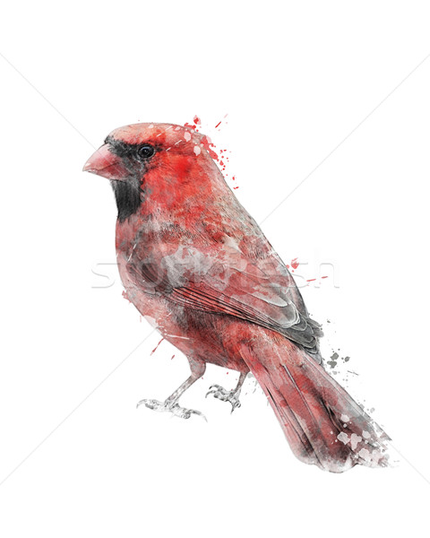 Watercolor Image Of Red Cardinal Stock photo © saddako2