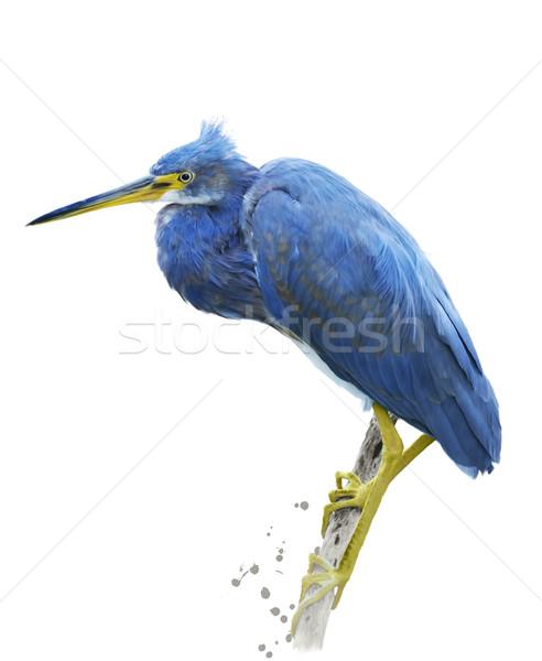 Weinig Blauw reiger natuur kunst vogel Stockfoto © saddako2